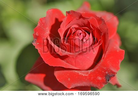 Red rose flower in the garden , Red rose