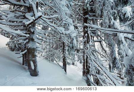 Winter  Mountain Primeval Forest.