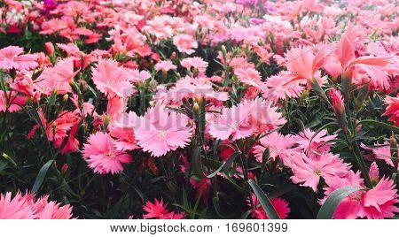 Dianthus have five petals typically with a frilled or pinked margin and are pale to dark pink.