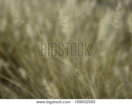 Blur gress and grass flower as background