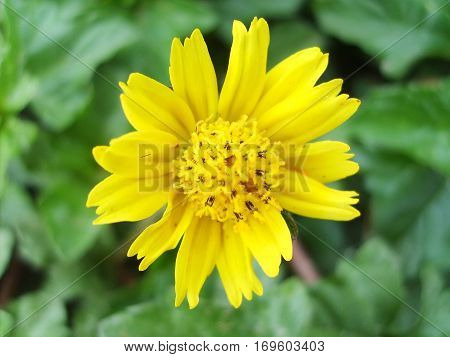 Coreopsis pubescens called star tickseed Flower heads are yellow with both ray florets and disc florets.