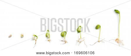 Sequence of bean plant growing experiment