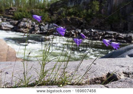 Bellflower on the river shore. Siberia, Russia