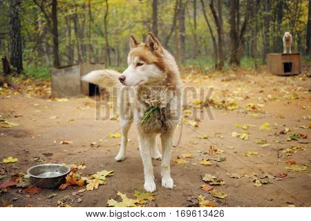 Husky dog with chain stands near wooden kennel in autumn yellow park, other dog out of focus