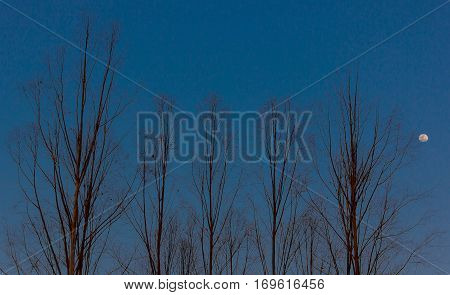 Trees without leaves During the fall season leaving only the structure of the trunk. The background is the sky and the moon rising.