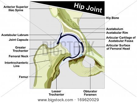 Hip Joint Anatomy diagram figure anatomical structure consist of femur and hip bone of human body with all parts and capsule cross section figure for medical education concept poster
