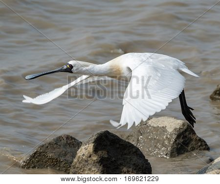 Black-faced Spoonbill in waterland
