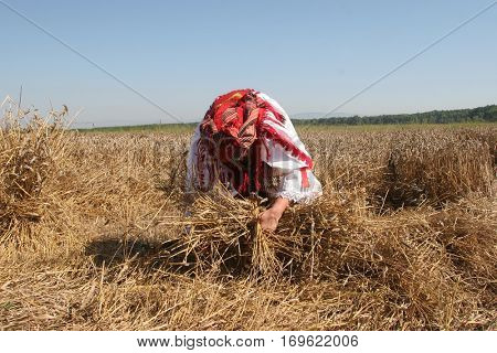 DAVOR, CROATIA - JUNE 26: Peasant woman harvesting wheat with scythe in wheat fields in Davor, Slavonia, Croatia on June 26, 2010.