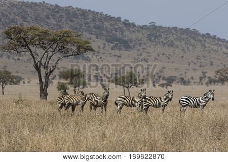 emphasis on family group of zebras standing in the savannah near Acacia on a hot sultry day