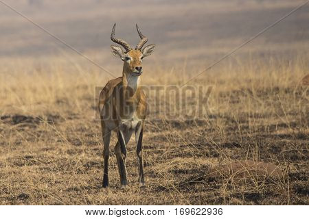 KOB male standing in the savannah among burned grass in the dry season