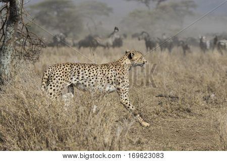 male cheetah running through bush savanna on background ungulate herds
