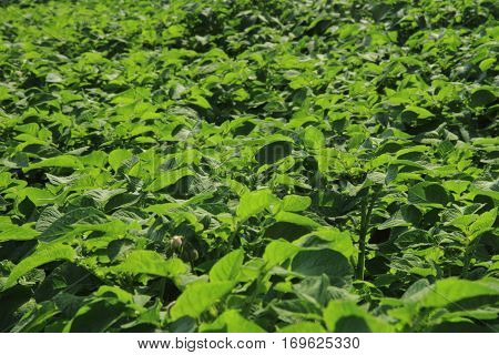 Fresh Green Potatoes Plant Field