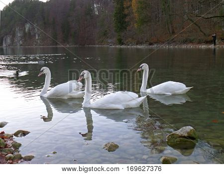 Three Mute Swans relaxing on Schwansee, the Lake at the foothill of Hohenschwangau Castle in Bavaria, Germany