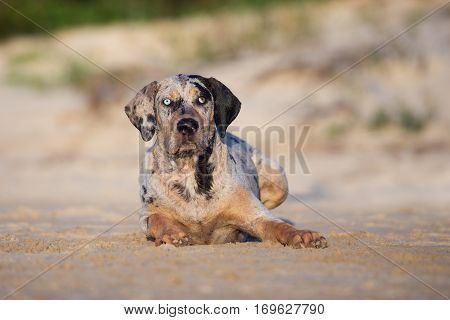 adorable young catahoula dog outdoors in summer