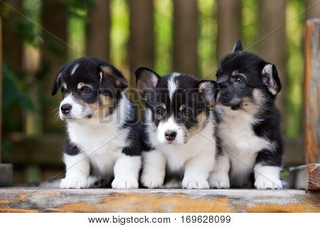 three welsh corgi puppies posing together outdoors