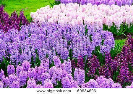 Colorful purple, pink and lilac hyacinth flowers blossom in keukenhof spring garden banner background