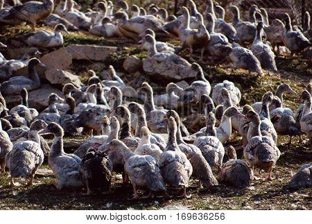 Geese Breeding In France