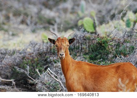 Beautiful brown billy goat with curved horns on his head.