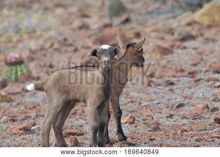 Pair of baby goats with his mouth slightly open.