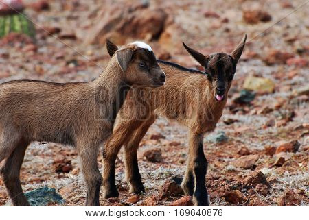 Brother baby kid goats standing together looking cute!