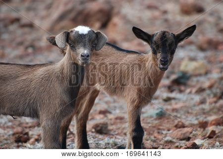 Up close and personal with two baby brown goats in the wild.