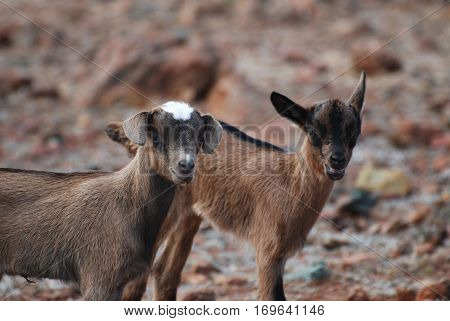 Up close and personal with a pair of kid goats.