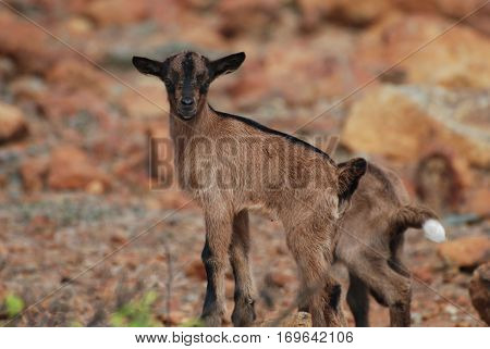 Small brown baby goat standing up on top of a rock.