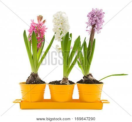Vibrant colored hyacinth spring flowers isolated on white background.