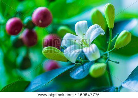 Orange Jessamine (murraya Paniculata) White Flowers