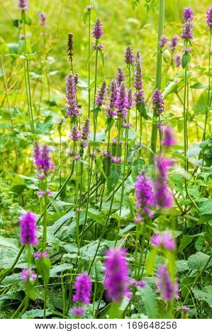 Marsh Woundwort (stachys Palustris) Pink Flowers