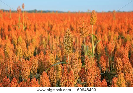 Sorghum crops grown in southern Indiana