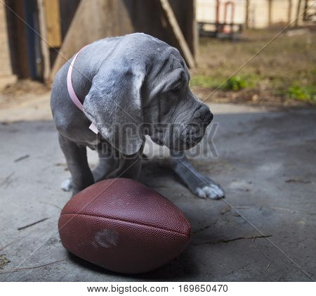 Purebred Great Dane puppy next to a deflated football