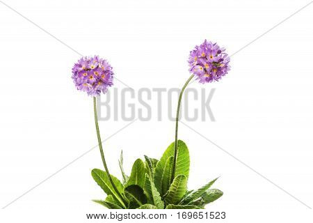 Primrose flower lilac isolated on white background