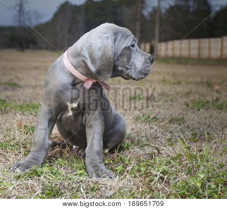 Purebred Great Dane puppy that has heard something nearby