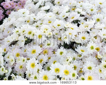 White chrysanthemum bunch for ready to sale in the countryside farm.