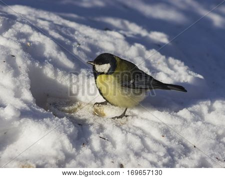 Great tit Parus Major close-up portrait in snow with bokeh background selective focus shallow DOF