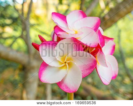 Pink plumeria on the plumeria tree in garden, frangipani tropical flowers