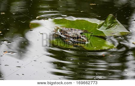 frog sitting on a green lotus leaf in lake with green water