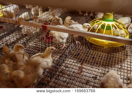 Baby chicken in a large farm in the cells