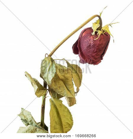 Faded rose isolated on white background with petals. Wilted flowers after the wedding.
