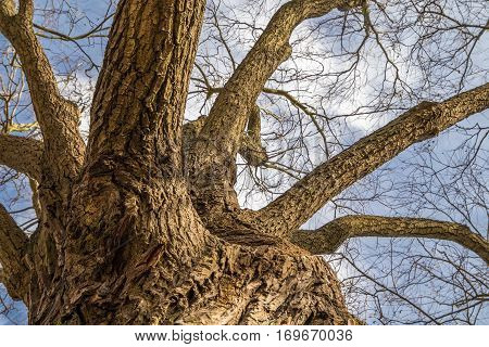 The old rugged trunk of the tree and it's branches seen from the bottom with the the blue sky and a few clouds as the background. No leafs during winter time.
