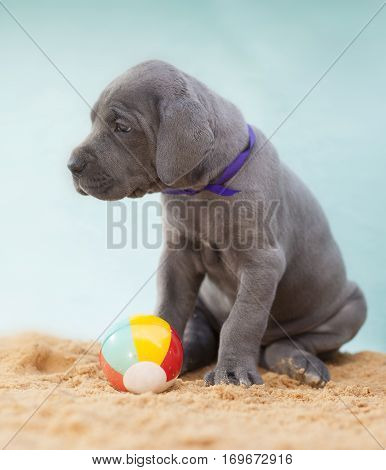 Grey Great Dane puppy on sand with a ball nearby
