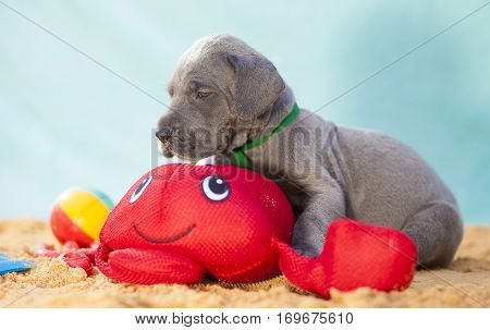 Purebred grey Great Dane puppy on the sand with a red toy