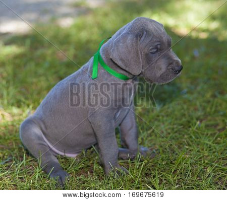 Purebred blue Great Dane puppy sitting obediently on the grass