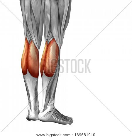 Concept conceptual 3D illustration human lower leg anatomy or anatomical and muscle isolated on white background metaphor to body, tendon, fit, foot, strong, biological, gym, fitness, health medical