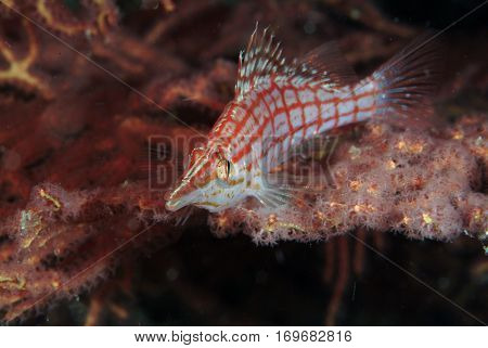 Long Nose Hawk Fish from the Solomon Islands