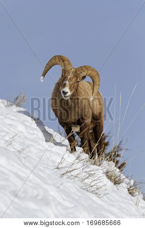 Bighorn Sheep In Winter Landscape, Yellowstone National Park