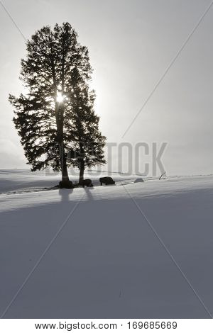 Bisons And Tree At Backlight, Yellowstone National Park