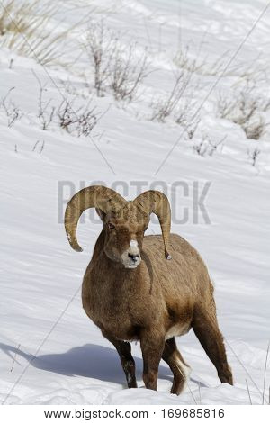 Bighorn Sheep In The Snow, Yellowstone National Park