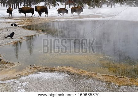 Isons In The Fumaroles Of Black Sand Basin, Yellowstone National Park